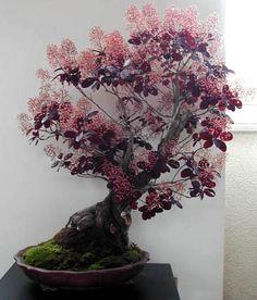 Cotinus coggygria 'Royal Purple' bonsai