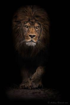 Fierce. Lion.