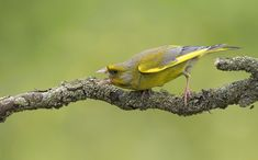 Greenfinch, Europe, Change, Animals, Birds, Animales, Animaux, Animal, Animais