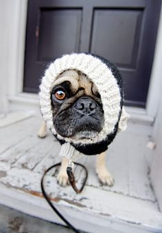 Look at that face!!! Sweater Pug on a Leash