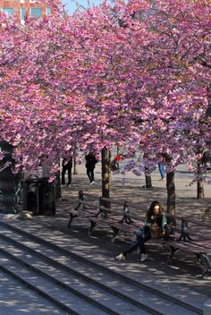 Gorgeous cherry blooms in the Kungsträdgården. Discover restaurants, bars, shops, clubs & cultural hotspots that locals love in Stockholm: www.10thingstodo.in