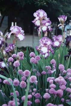 chives and irises (Jesse's Song) plant and veg combo