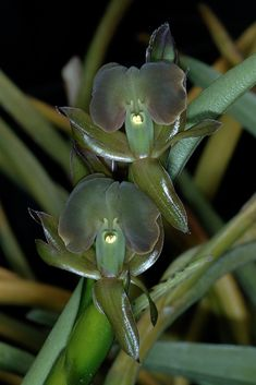 Green flowers of Epidendrum coriifolium