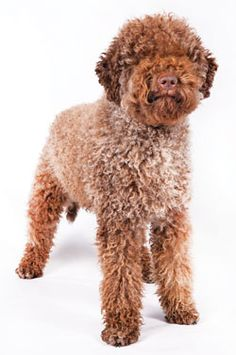 The Lagotto Romagnolo is a specialized truffle hunter