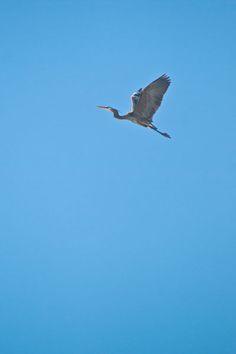 Great Blue Heron   BLOG POST: Bird Watching   a. Espetveidt   Quadrophonic Image