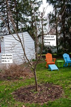 How to Prune Peach Trees Peach trees need to be pruned every year, to keep them in shape and fruiting. Here are answers to when and how to prune peach trees, as well as some tips for their care. Fruit Garden, Garden Trees, Edible Garden, Flowers Garden, Pruning Peach Trees, Tree Pruning, Growing Tree, Growing Plants, Trees And Shrubs