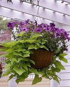 1000 images about mix planting for summer on pinterest - Summer hanging basket ideas ...