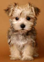 maltese + yorkie = morkie  maybe this will be my next little friend