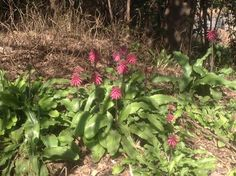 Veltheimia bracteata (Bush Lily, Glossy Forest Lily)