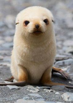 Baby Seals Are The Cutest Thing Ever And These Photos Are Here To Prove it - Animals wild, Animals cutest, Animals funny, Animals drawings Cute Little Animals, Cute Funny Animals, Adorable Baby Animals, Cute Baby Sloths, Baby Otters, Baby Seal, Seal Pup, Baby Harp Seal, Tier Fotos