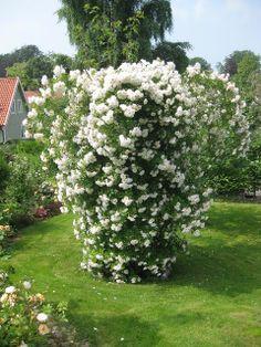 Hallontrollets trädgård: Att bygga en rosenbur och en rosenbåge