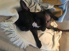 Good Night, Boston Terrier, French Bulldog, Pitbulls, Dogs, Animals, Nighty Night, Boston Terriers, Animales