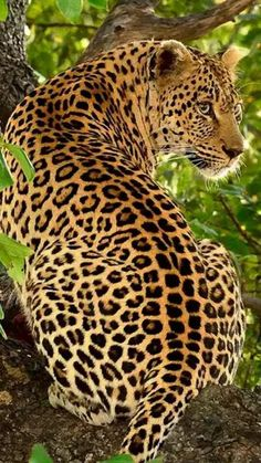 Magnificent Looking Leopard Big Beautiful Cats - Tiere EUT Beautiful Cats, Animals Beautiful, Big Cats, Cats And Kittens, Animals And Pets, Cute Animals, Wild Animals, Strange Animals, Animals Images