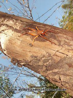 DEDETIZADORA TSERV : A aranha ou cupim mais estranho do Brasil. www.dedetizadoratserv.com.br