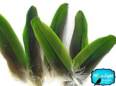 VERY RARE. LIMITED TO SUPPLIES ON-HAND. This listing is for 4 pieces of naturally molted green Amazon parrot wing feathers . They are small bird so the wing feathers range from 3-5 inches long. You will find the feathers to be vivid bright green. These feathers are very rare because they are naturally molted.    These are medium-size parrots native to the New World ranging from South America to Mexico and the Caribbean. Most Amazon parrots are predominantly green, with accenting colors that…
