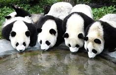 Chicago Tribune: Aug. 26, 2005 Panda Research Center Pandas drink water at the Wolong Panda Research Center, in southwest China's Sichuan province on Aug. 26. Zoologists from Taiwan are expected to begin the selection process for two pandas which are to be gifted to Taiwan. China agreed earlier this year to give two pandas to Taiwan as a good-will gift.