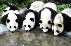 Pandas by p2a2, via Flickr