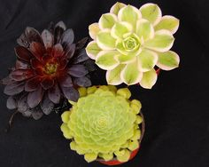 Aeonium Mixed Collection-This selection contains three attractive choice aeonium, including A. 'Zwartkop' A. 'Sunburst' and A. tabuliforme forming a fantastic collection of these impressive plants with different colors and shapes.