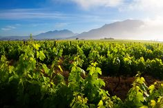 Stellenbosch Spring Vineyards Winelands Landscape | Stellenbosch Winelands, Western Cape, South Africa