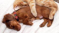 dog and cat togather sleeping http://ift.tt/2igGVe9