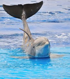 This is probably a sad Sea World dolphin. (Look at its floppy dorsal fin 😢. It represents abuse!) Save this pin if you want to shut down sea world and everything similar! Orcas, Photo Dauphin, Beautiful Ocean, Animals Beautiful, Gato Animal, Fauna Marina, Baby Dolphins, Photo Animaliere, Bottlenose Dolphin