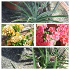 My garden, pinapples and flowers.