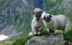 Blacknose Sheep