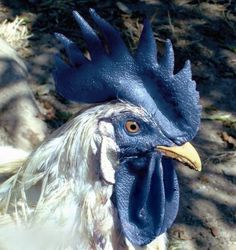 Blue-combed rooster