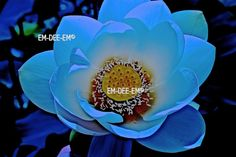 Australian Artist EM-DEE-EM Original Photograph ~ Digital Image ~ Lotus 3005-2