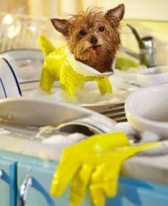 ...here's a tiny dog wearing a dish glove