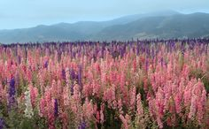 The beautiful flower fields in Lompoc are bloom from late spring to early fall, and particularly beautiful May through August.