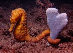 Sea horse holds out for true love!