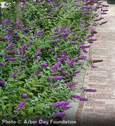 'Blue Chip' Butterfly Bush  Buddleia hybrid    A non-invasive, miniature butterfly bush  Continuous blooms from mid-summer to fall  Easy to grow plant adds purple-blue color to your landscape  Attracts hummingbirds and butterflies - deer resistant shrub  Proven Winner® flowering shrub  1 quart container  Zones 5 to 9