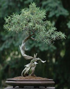 Rosemary bonsai  Rozemarijn (Rosmarinus officinalis) is een houtige plant uit de lipbloemenfamilie (Lamiaceae). De winterharde, meerjarige plant is oorspronkelijk afkomstig uit Zuid-Europa en Klein-Azië.