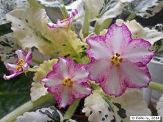 Image result for African Violet Chimera 'РС-Колесо Фортуны