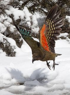 Kea - New Zealand alpine parrot