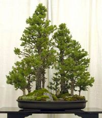Bonsai Dawn Redwood