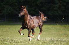 Arabian stallion Baikal
