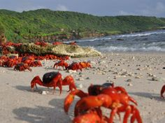 Migrating red crabs