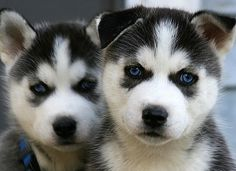 #husky #dogs - http://www.puppy-4-sale.net/Adorable-Husky-Puppies.html