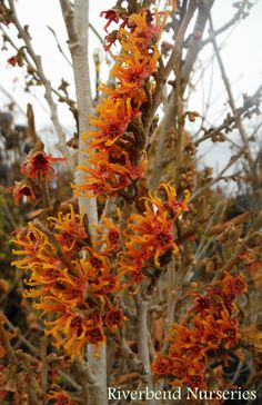 Hamamelis vernalis Witch Hazel