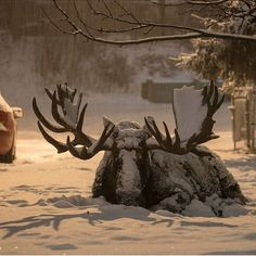 Wildlife photographer of the year people's choice award: 'Settled in' by Ryan Miller, US. 'Moose are not strangers to the city of Anchorage, Alaska. This big bull is known as Hook, and Ryan knew from the previous year that he would. Wildlife Nature, Nature Animals, Animals And Pets, Cute Animals, Moose Deer, Bull Moose, Moose Art, Moose Pictures, Animal Pictures