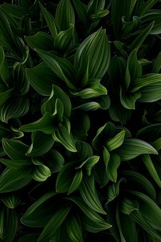 Corn Lily by Greg Cope Tropical Leaves, Tropical Plants, Green Life, Go Green, Tropical Background, Plant Wallpaper, Foliage Plants, Green Nature, Green Plants