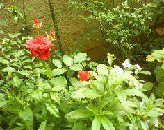 Rosa vermelha e folhagens
