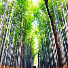 【g23am】さんのInstagramをピンしています。 《Bamboo forest only in Japan 🇯🇵 #すごい #photographer #bambooforest #arashiyama  #Japan #japón #travel #Asia #kyoto #bamboo #nature #beautiful #日本 #嵐山 #竹 #森 #scenery #instadaily #instagood #like #iamtb #IloveJapan #photography #green》