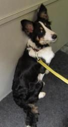 A FOSTER NEEDED- Mulligan is an adoptable Collie Dog in London, ONTARIO. LITTLE MULLIGAN NEEDS A FOSTER We just rescued Mulligan from the St. Thomas City pound. He is a little guy, maybe 45 lbs, very smart...