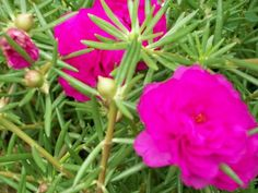 Uma das Flores Que Suportam o Sol Forte chama-se Onze-Horas