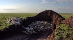 Catastrophic Collapse of Saiga Antelope Leaves 120,000 Dead in a Month  IMAGE: SERGEI KHOMENKO/FAO