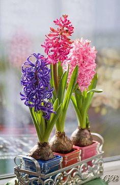 Hyacinth - Signs of spring   Backyards Click