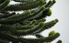Araucaria araucana-branch  - Wikipedia